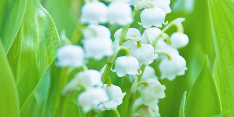 贈られた人が幸せになれるすずらんの花