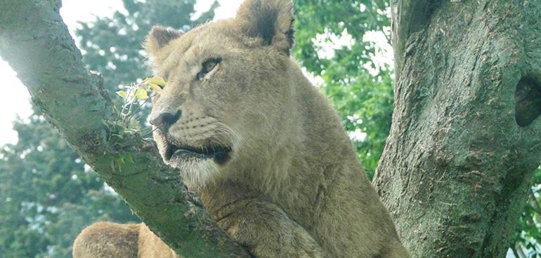 強運を呼ぶライオンモチーフ Pavish コラム